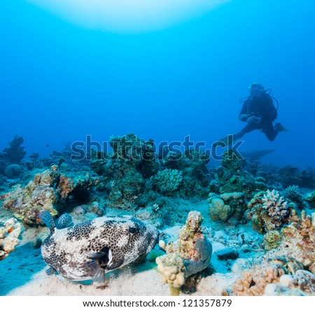 SCUBA diver watches a Giant Pufferfish on a coral reef - stock photo