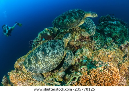 SCUBA diver watches 2 large green sea turtles on a tropical coral reef