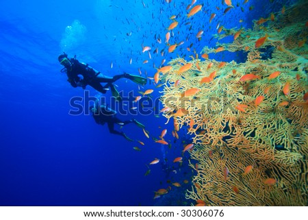 Scuba divers and Gorgonian Fan Corals - stock photo