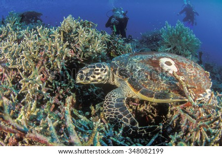 SCUBA divers watching a resting Hawksbill sea turtle - stock photo