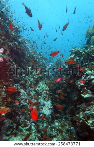 scuba diving at the coral reef in Thailand