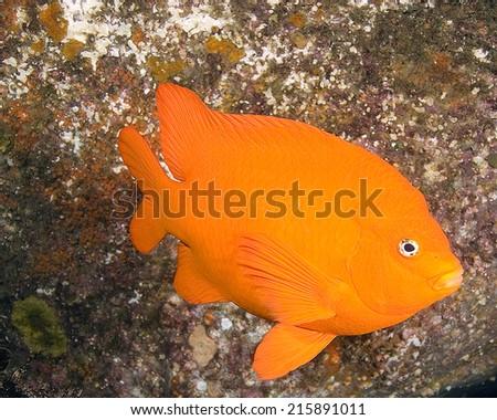 Scuba Diving California Underwater Reef - stock photo