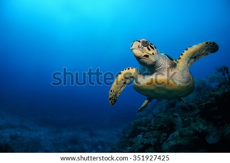 Scuba diving in the Caribbean, Hawksbill turtle, Eretmochelys imbricata, swimming over the coral reef, Riviera Maya, Mexico - stock photo