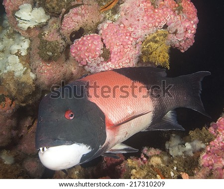Scuba Diving Pacific Ocean Sea Life Underwater - stock photo