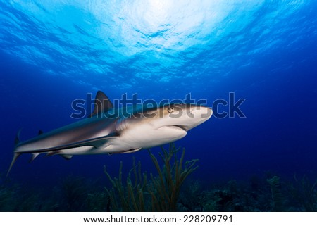 Scuba diving with caribbean reef sark in bahamas - stock photo