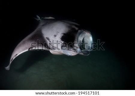 Scuba diving with Reef manta ray feeding at night - stock photo