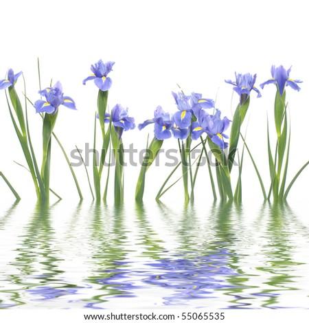 Se of blue irises with reflection - stock photo
