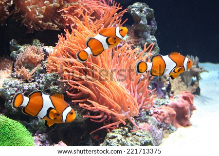Sea anemone and clown fish  - stock photo