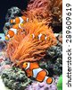Sea anemone and clown fish in marine aquarium - stock photo
