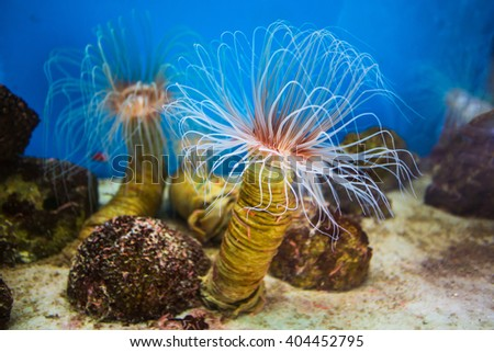Sea anemone (anemone) with white tentacles in the aquarium. National Oceanographic Museum of Vietnam Nha Trang