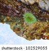 Sea Anemone in a Tide Pool - stock photo