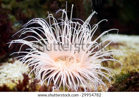 Sea anemone, predatory sea animal, looks like a flower