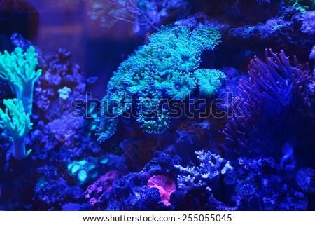 Sea anemones and corals in marine aquarium - stock photo
