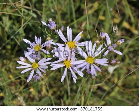 Sea Aster - Aster tripoliumSalt Marsh Flower - stock photo
