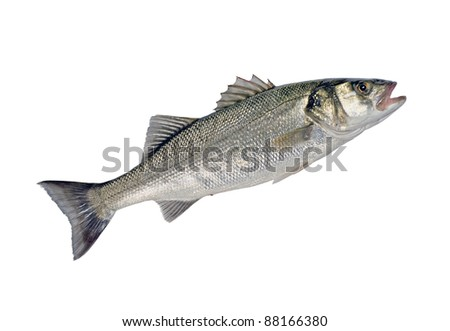 Sea Bass Fish (Dicentrarchus labrax) Isolated on White - stock photo