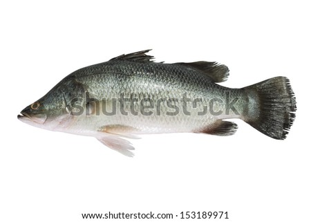 Sea bass isolated on white background - stock photo
