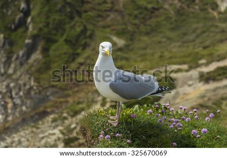 sea bird at juristic coast dorset - stock photo