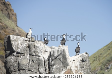 sea bird group of little pied cormorants sitting on rock at southern ocean tasmania