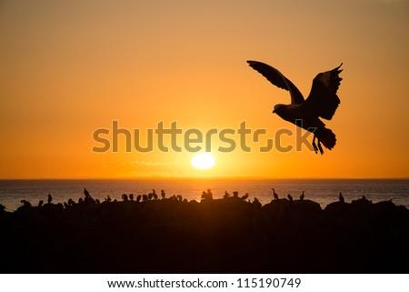 Sea birds at sunset Cape Jervois - stock photo