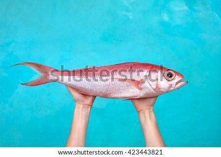 Sea bream Chillo boral in fisherwoman hands in front of blue sea background - stock photo