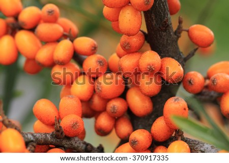 sea buckthorn plant with fruits as natural background - stock photo
