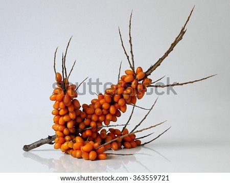 Sea buckthorn twig with orange berries. Hippophae rhamnoides, common names sea-buckthorn, seaberry or loganberry. - stock photo