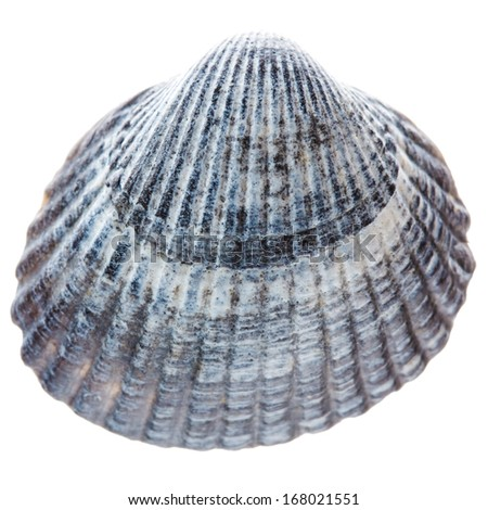Sea cockleshell isolated on white background. Gray shell - stock photo