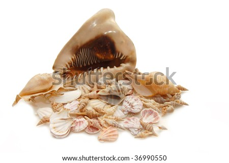 sea cockleshells on white background - stock photo