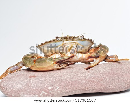 Sea crab on red rock isolated on white background.