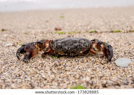 sea crab on sandy beach