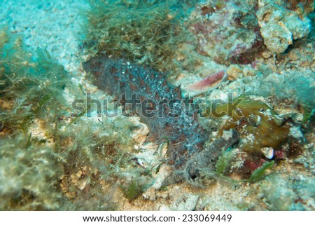 Sea cucumber - stock photo