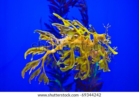 Sea Dragon - stock photo