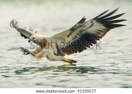 sea eagle spread his wings ready to attack his prey - stock photo
