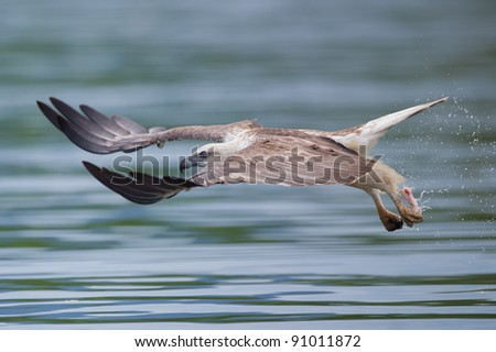 sea eagle with food in his talon flying really fast - stock photo
