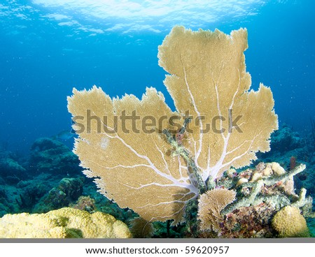 Sea Fan on a coral ledge. Picture taken Broward County, Florida. - stock photo