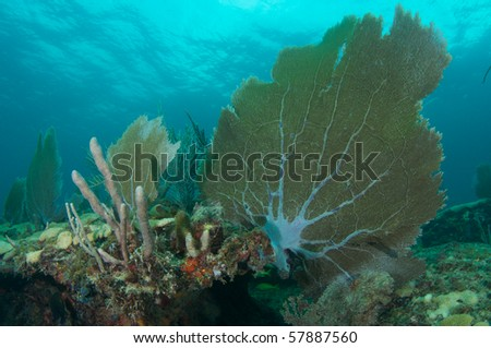 Sea Fan on a reef ledge,picture taken in Broward County Florida - stock photo