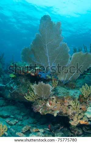 Sea Fan on a reef ledge, picture taken in south east Florida. - stock photo