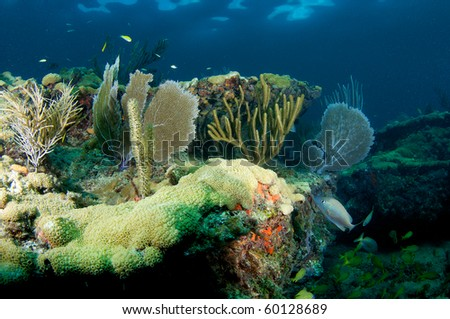 Sea Fan(s) on a coral ledge. Picture taken in Broward County, Florida. - stock photo