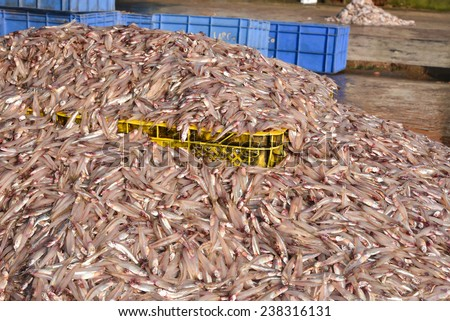 Sea food. Fish market in India. Heap of raw Silver fish for sale. - stock photo