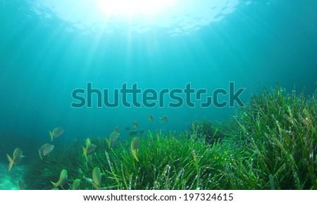 Sea Grass and fish underwater - stock photo
