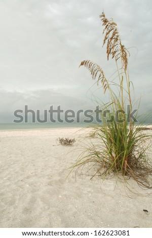 Sea grass on a beach blowing in the wind.  Sanibel Island, FL, USA. - stock photo
