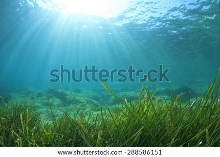 Sea Grass Underwater - stock photo