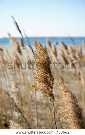 Sea grasses in the autumn on a clear day.  Shallow focus on middle plant.