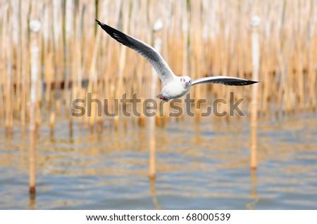 sea gull - stock photo
