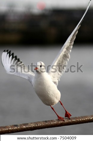 Sea Gull about to take off - extremely narrow depth of field (focus on head), nice blurred background - stock photo