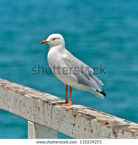 Sea gull at the beach in Melbourne, Australia - stock photo