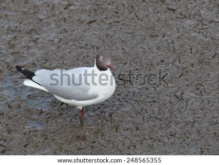 sea gull birds, brown headed gull in breeding plumage form standing on mud flat sea coast, wild life winter visitor to thailand  - stock photo