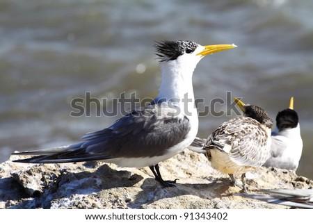 Sea Gull in Australia - stock photo