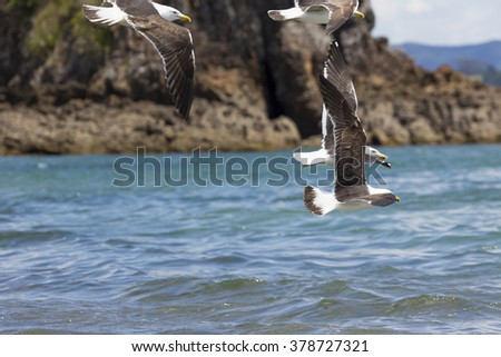 Sea Gull in New Zealand coast. - stock photo
