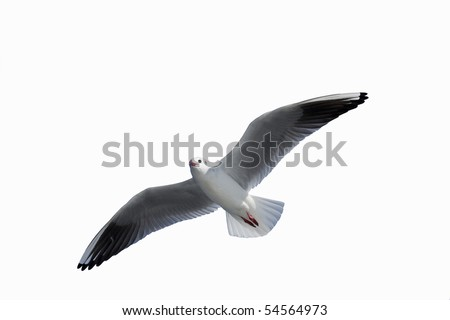Sea gull of a white bag and a white feather - stock photo